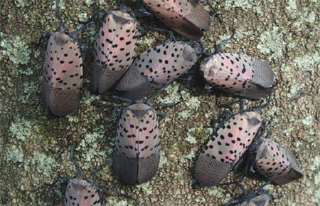 Group of Spotted Lanternflies