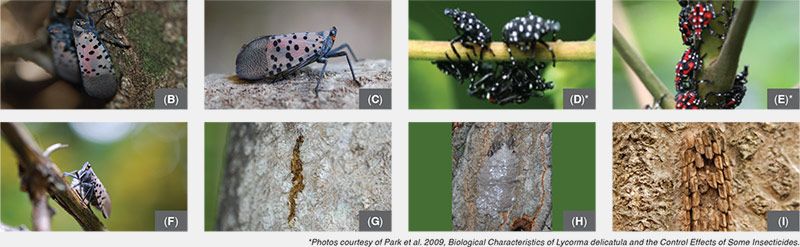 Identify the Spotted Lanternfly