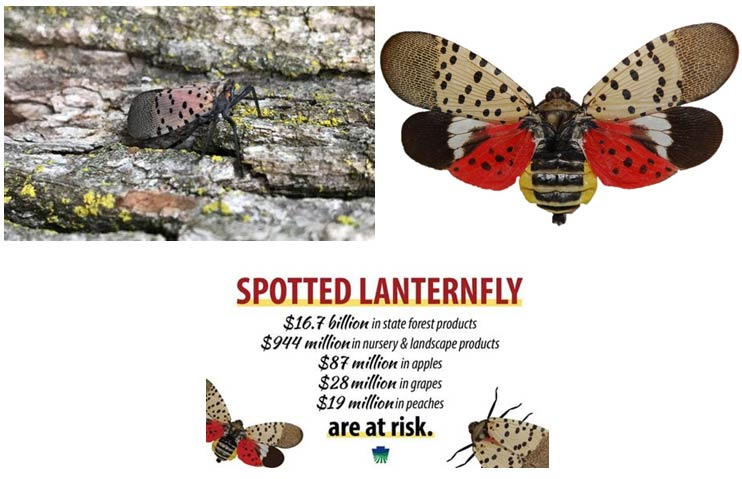 Spotted Lanterfly Info