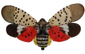 Spotted Lanternfly Specimen